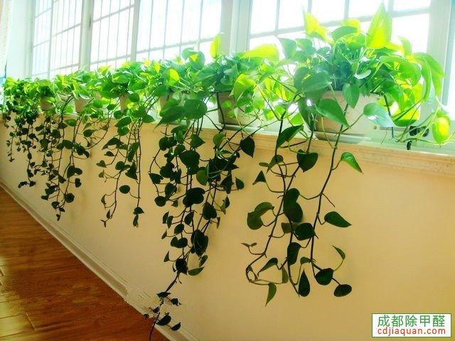 吸甲醛的植物綠蘿