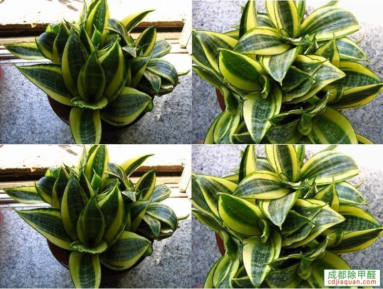 除甲醛植物虎舌蘭