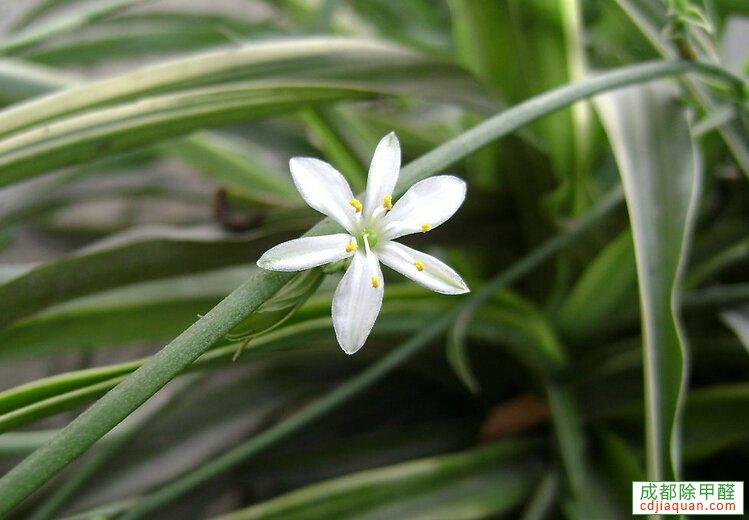 清除甲醛植物吊蘭